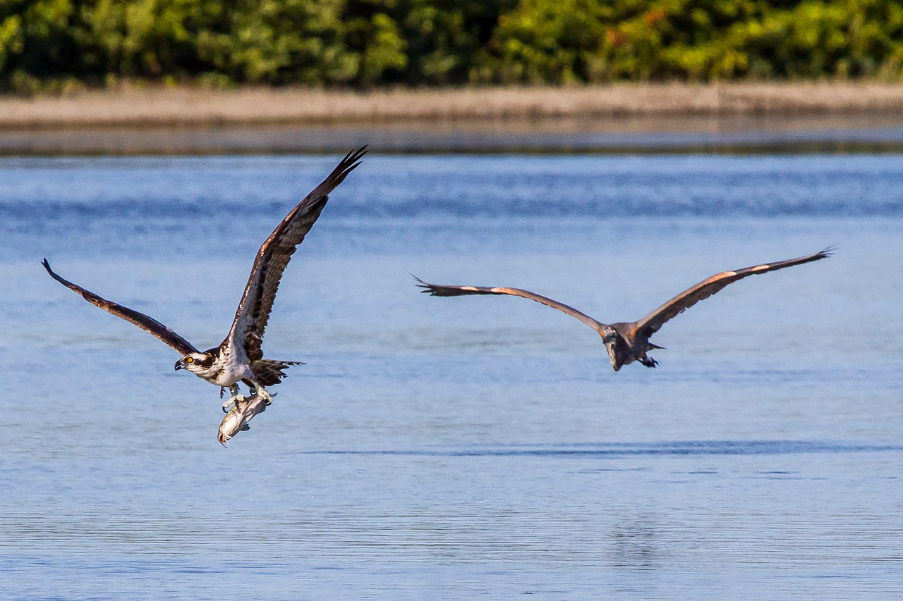 A great blue heron chasing an osprey with a fish