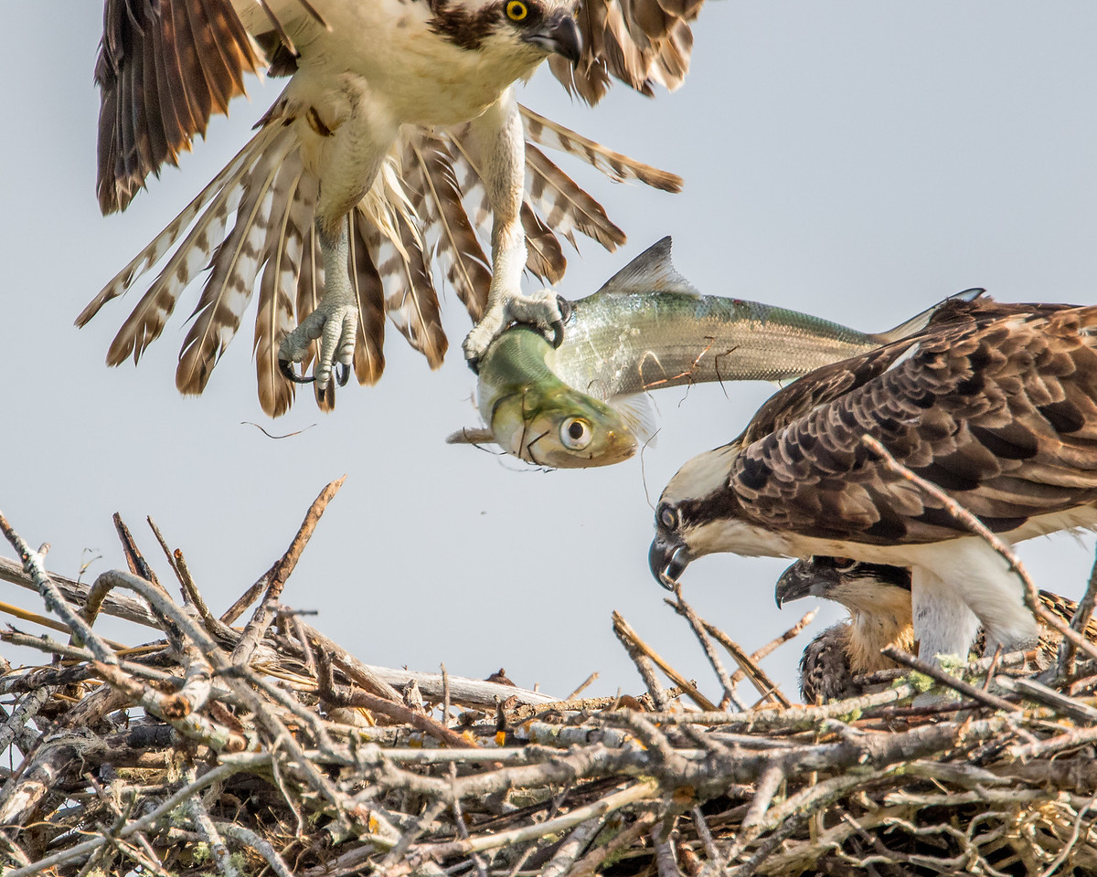 The male brings a fish to the nest