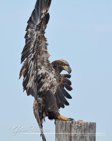 Eagle_GLO9871
