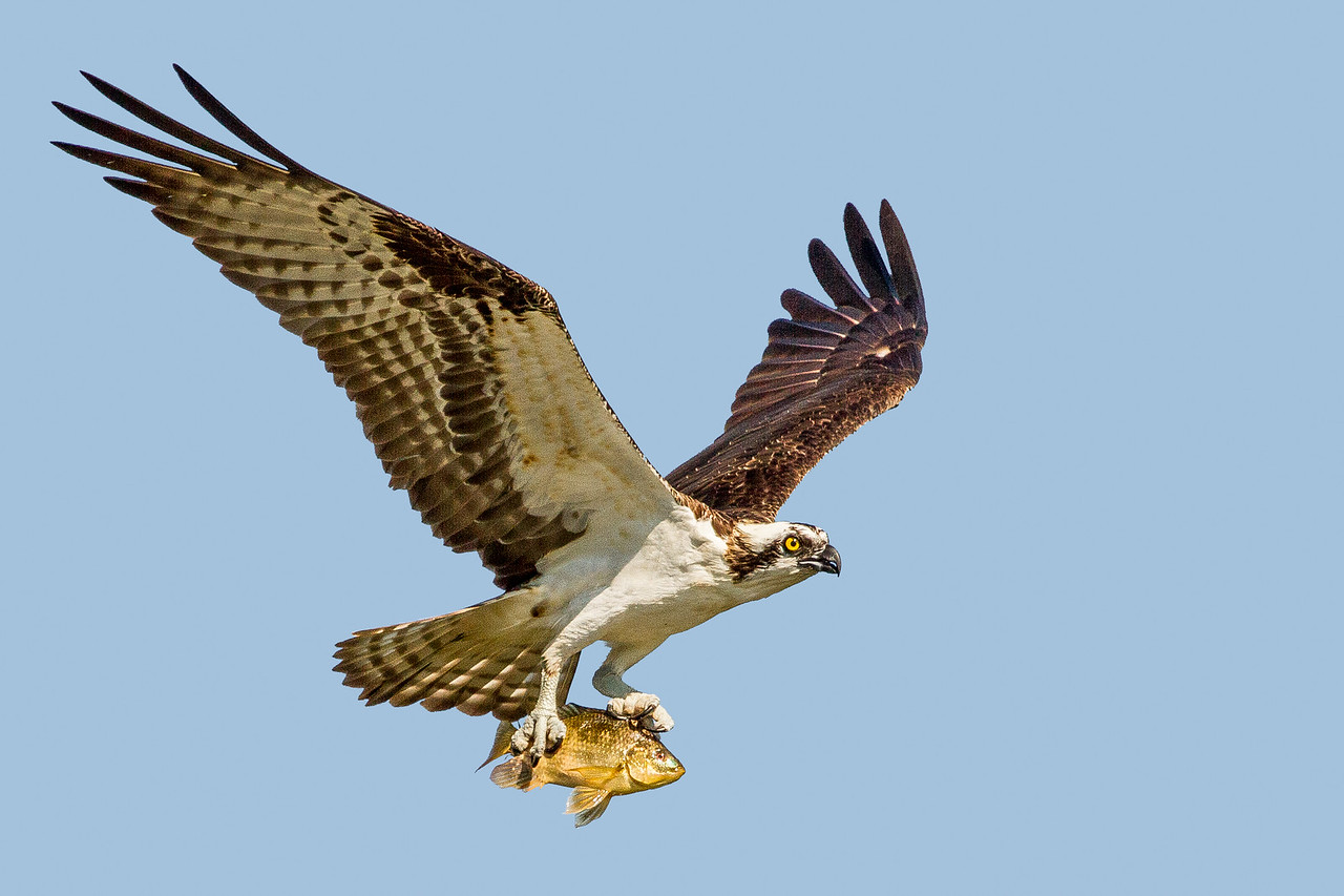 Osprey and Bass