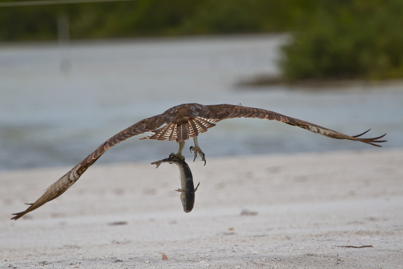 An adult female osprey takes its fresh catch to a sandbank for some privacy.