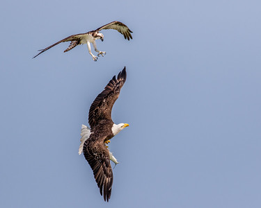 Male osprey trying to get a fish back from an eagle!