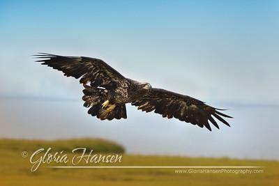 Eagle_GLO9868