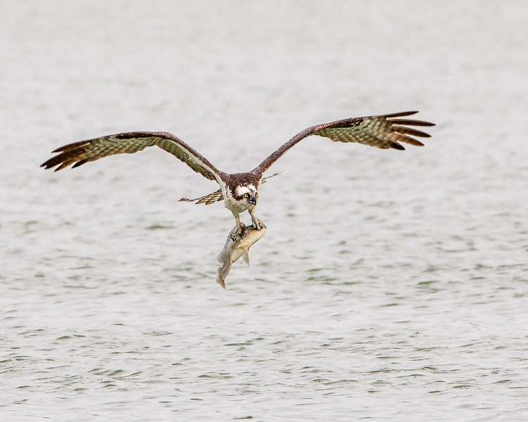 An osprey catches a fish in Eagle Lakes Park