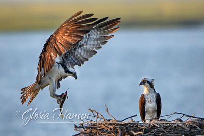 Ospreys-with-Dinner_GLO0068