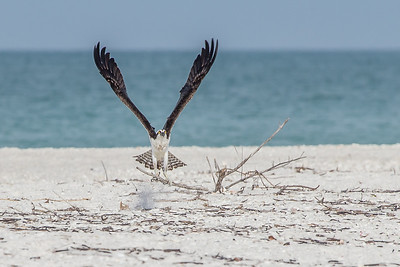 Picking up nesting material from the beach.