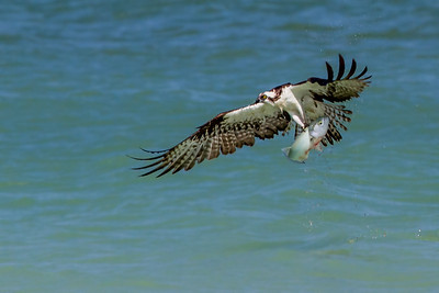 This osprey caught a very large fish and could hardly get out of the water.