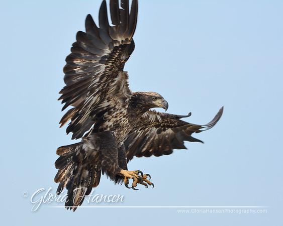 Eagle_GLO9870