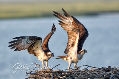 Ospreys-cropped_GLO0075
