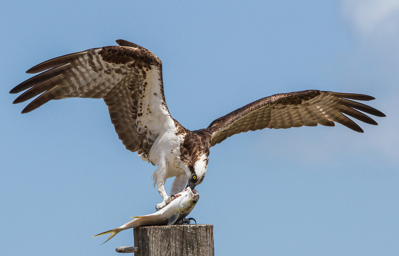 The osprey starts to eat a fish from its mouth.  The easiest place to get the beak into the fish.