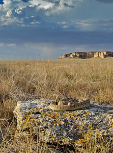 Prairie Rattlesnake on the Pawnee Grasslands