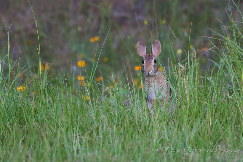 Cottontail In Flowers