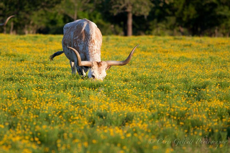 Texas Longhorn In A Field Of Flowers