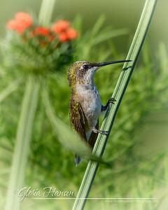 Hummingbird_GLO6740-8x10