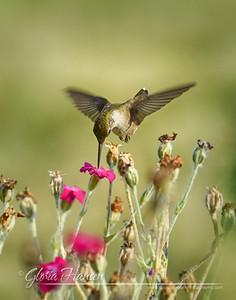 Humingbird_GLO4302-11x14