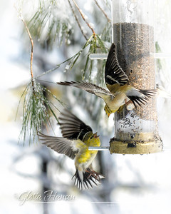 Snow-Finches_GLO9355-9x12
