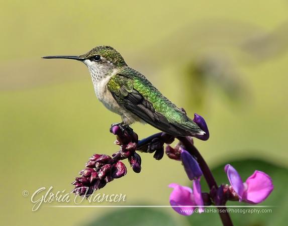 hummingbird_GLO5459-11x14