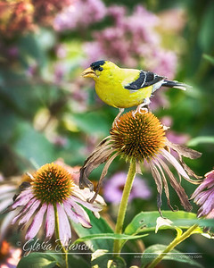 GoldenFinch_DSC0507