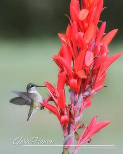 Hummingbird_GLO4294-8x10