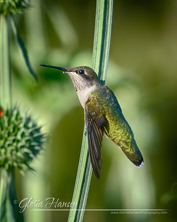 Hummingbird_GLO0684-Hansen