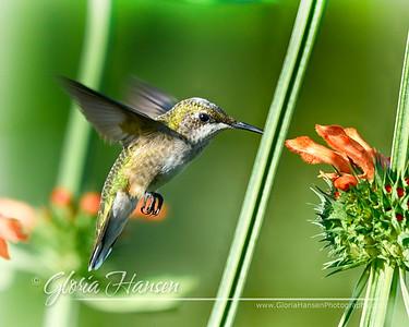 Hummingbird_GLO6764-8x10