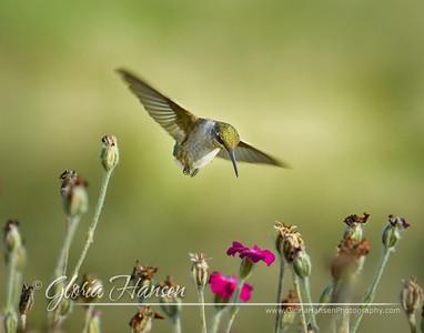 Hummingbird_GLO4301-11x14
