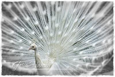 WhitePeacock-IMG_1159