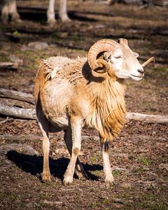 East Texas Bighorn Sheep
