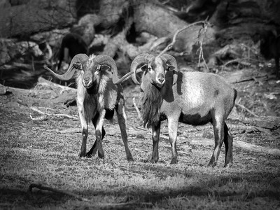 East Texas Bighorn Sheep