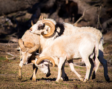 Bighorn Sheep Threesome