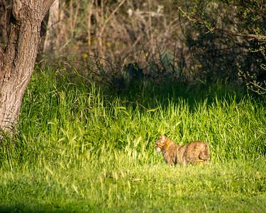 Bobcat in the Wild