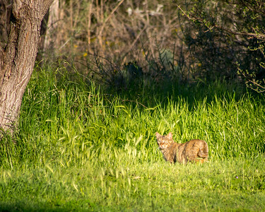Bobcat in the Wild