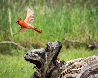 Northern Cardinal in Flight