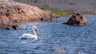 American White Pelican and turtles