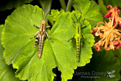 Giant Grasshoppers (Valanga irregularis)