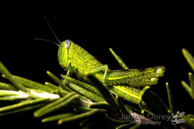 Giant Grasshopper (Valanga irregularis)