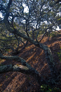 Scrub oaks on the upper slopes of Santa Cruz Island, Channel Islands CA