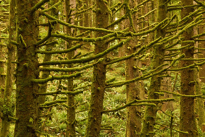 Mossy branches in rainforest at Ecola State Park, Cannon Beach, Oregon.