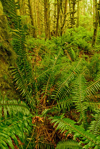 Ferns and rain forest in Ecola State Park, Cannon Beach, Oregon.