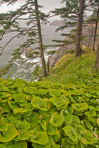 Wild hostas near Cape Falcon, Oregon