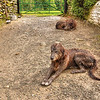 """Welch Irish Wolfhounds""<br /> 2nd Place - Digital Projection<br /> Steve Grunfeld"