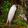 """White Egret""<br /> 2nd Place - Color Prints<br /> Al Frazier"