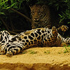 """Jaguars At Play""<br /> Honorable Mention - Digital Projection<br /> Charlie Stewart"