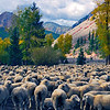 """Silverton Sheep""<br /> Honorable Mention - Projected Images<br /> Terry Yarbrough"