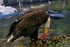 Feeding Eagle