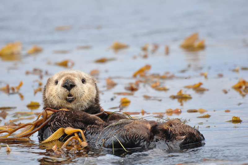 Otter In Monterey Bay