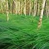 Wind In The Birches