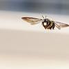 Flight Of The Carpenter Bee