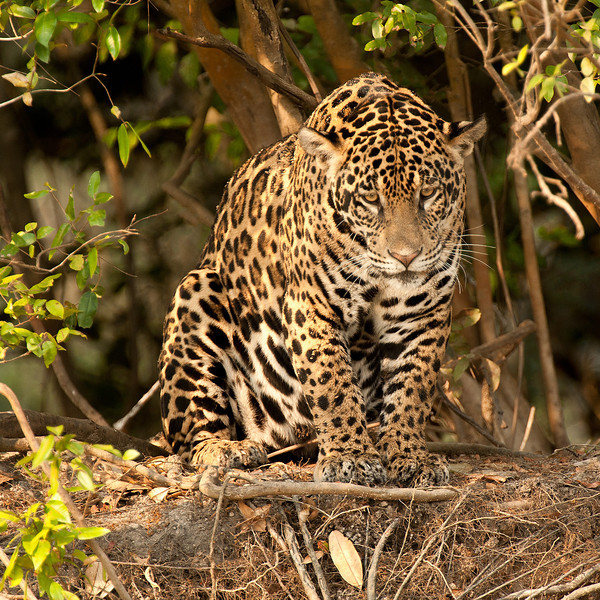 Brazilian Jaguar
