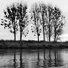 Mistletoe On The Elba River